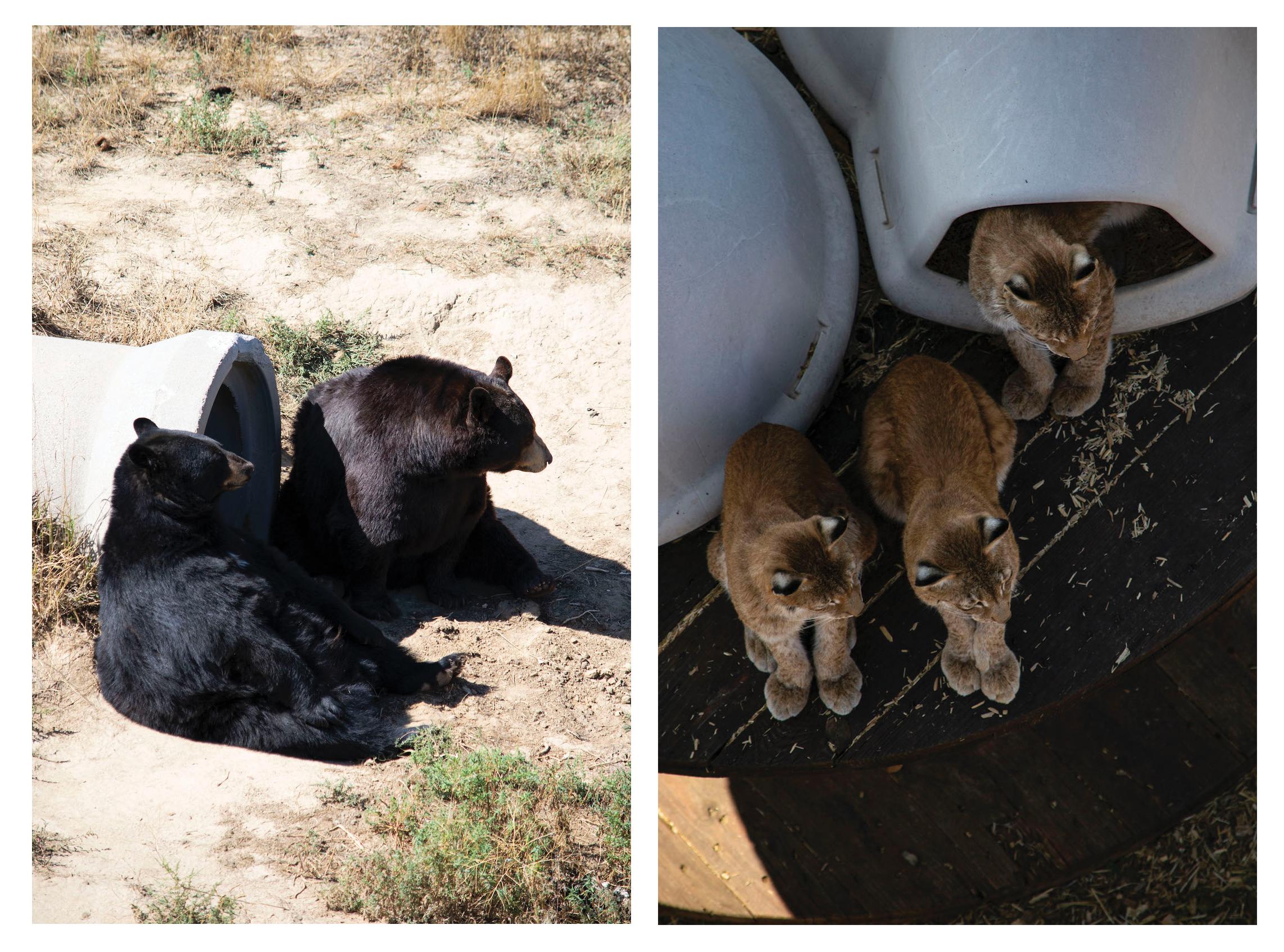 Wild Animal Sanctuary Bears and Bobcat Kits