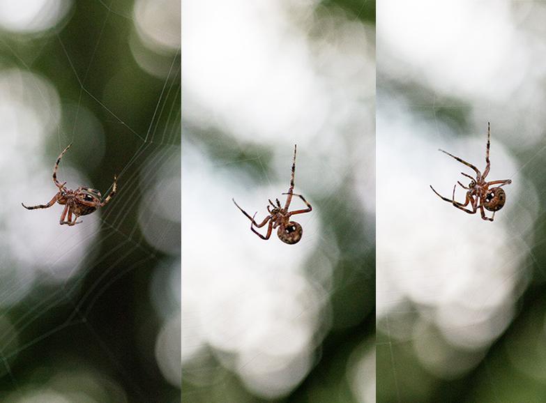 Hentz Orb-Weaver Spinning Web