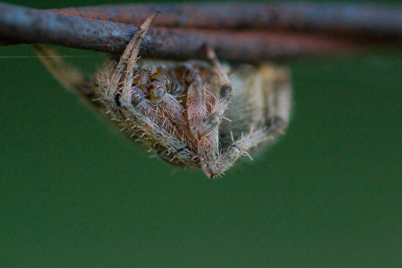 Hentz Orb-Weaver Spider