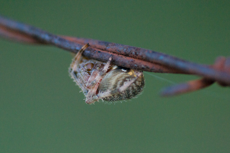 Hentz Orb-Weaver on Wire